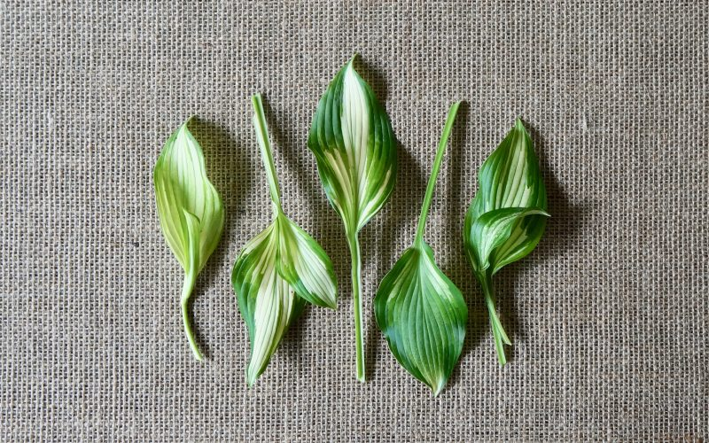Variegated-Hosta-Plantain-Lily-Rebecca-Gordon-Buttermilk-Lipstick-Garden-Landscaping-Essentials-Southern-Entertaining-RebeccaGordon-Pastry-Chef-Southern-Hostess-Birmingham-Alabama
