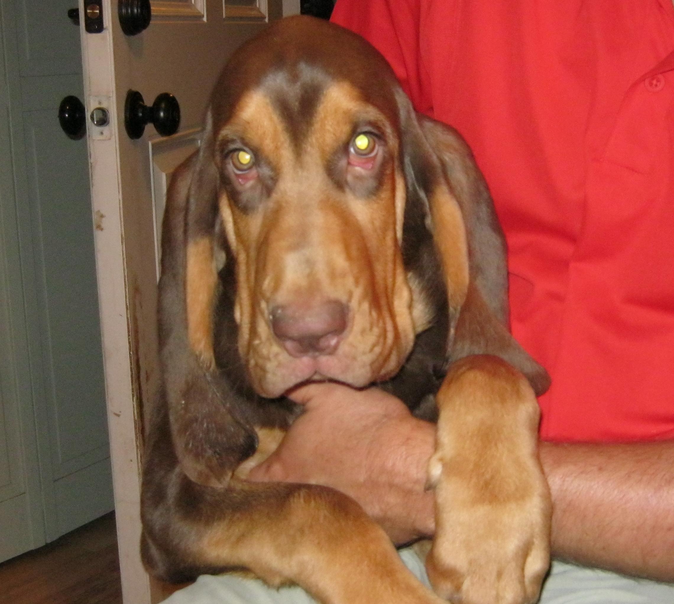 bloodhound dogs rebeccagordon buttermilklipstick